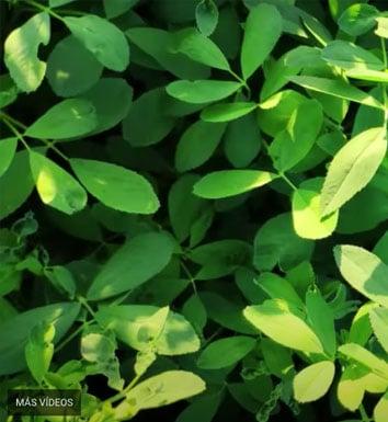 Al Fac Alfalfa