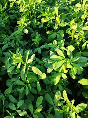 alfalfa 1