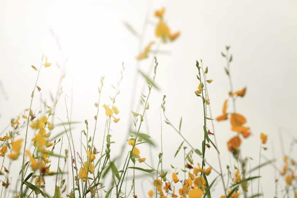 Nemátodos controlados con crotalaria juncea