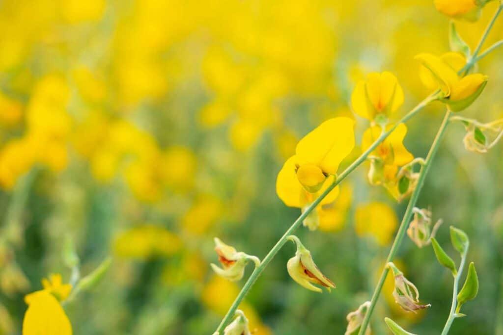 Calidad de Crotalaria Juncea