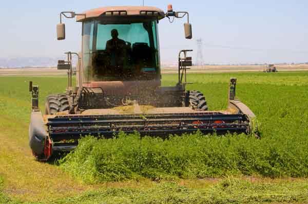 cultivo de la alfalfa